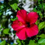 Flor de Jamaica, tan bonita como delicada