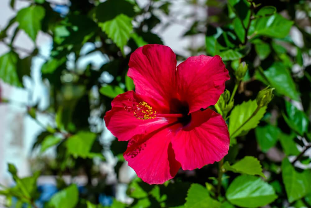 flor de Jamaica abierta