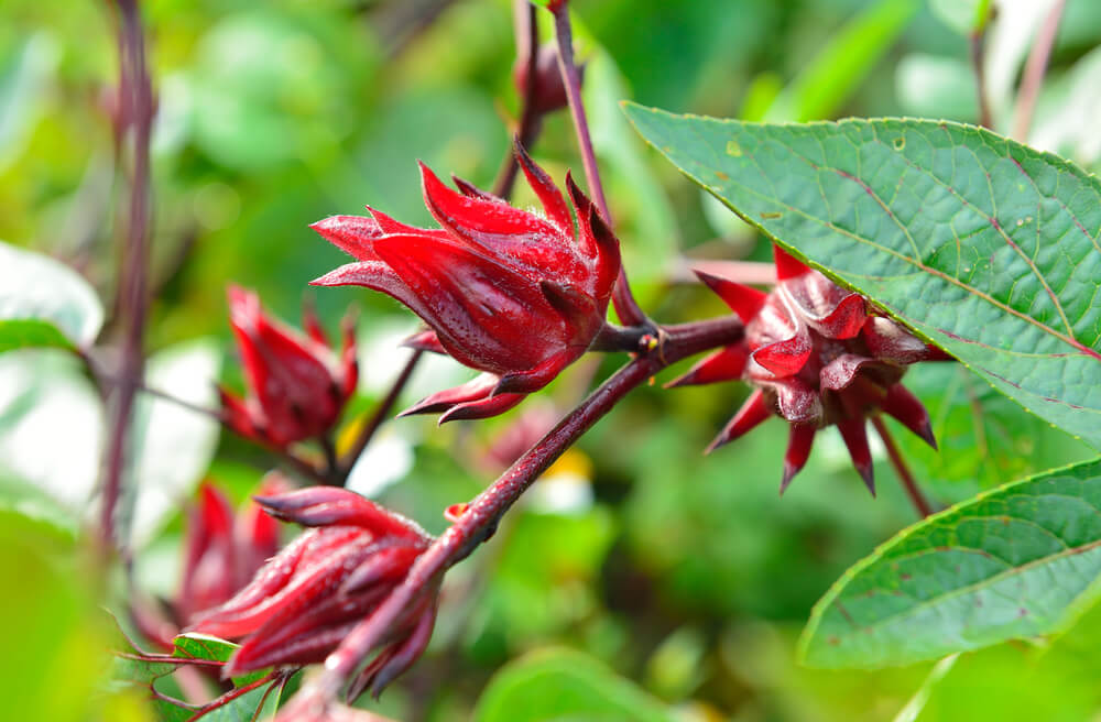 flor de Jamaica cerrada