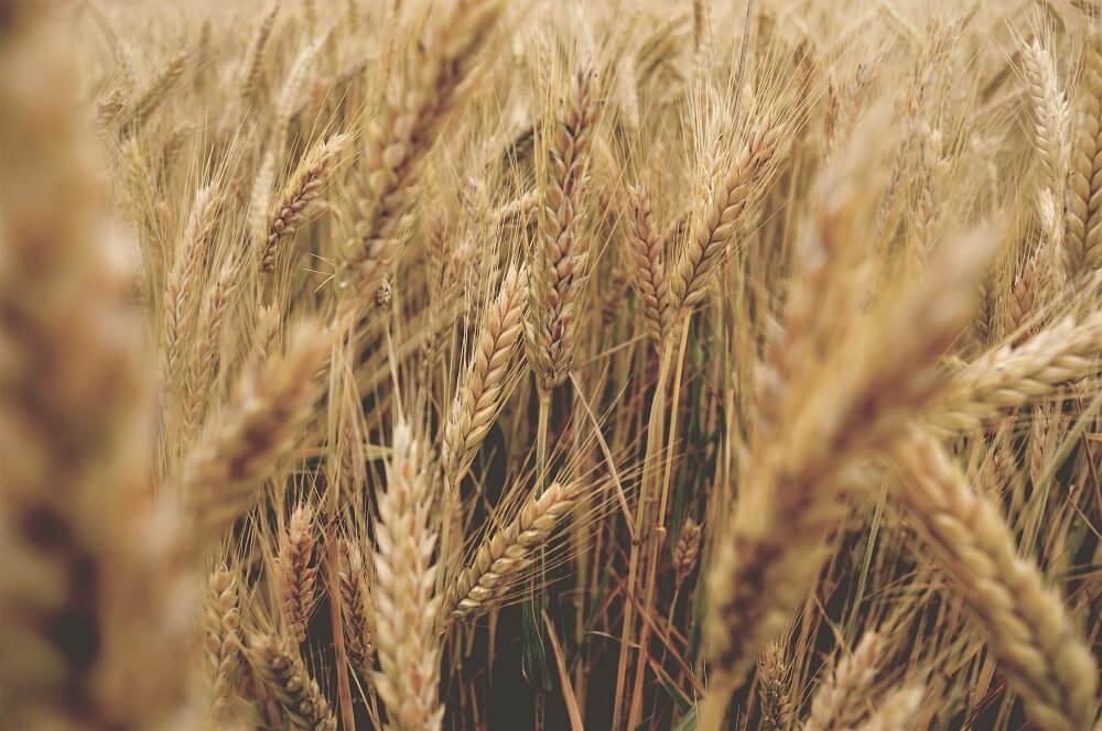 ¿Listo para conocer al trigo?