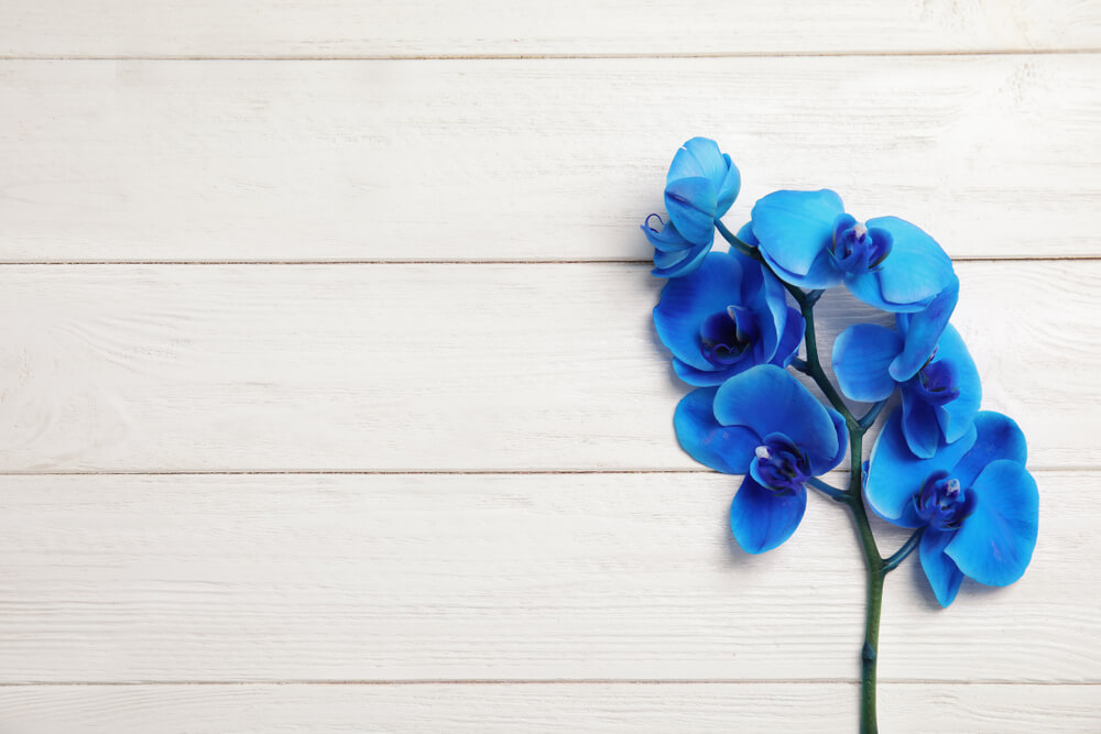 orquídeas azules rama