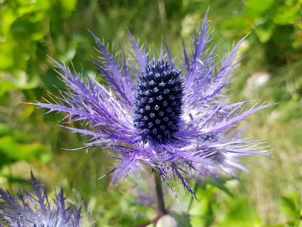 Tienes que conocer a la flor eryngium