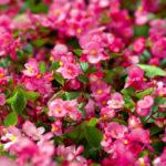 Begonia semperflorens. Hablemos de flores