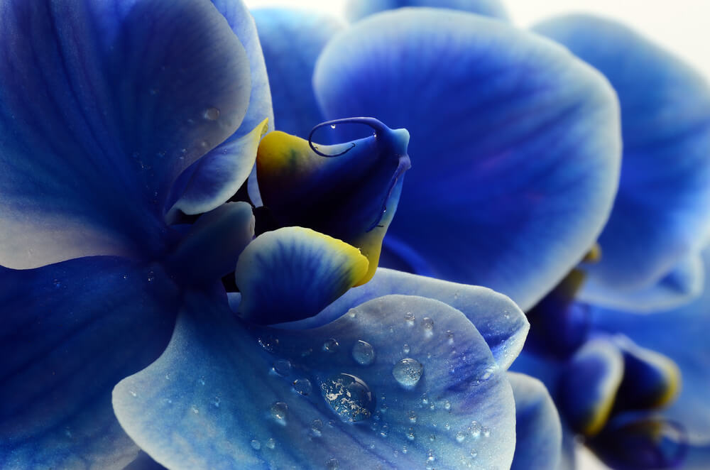 detalle orquídeas azules