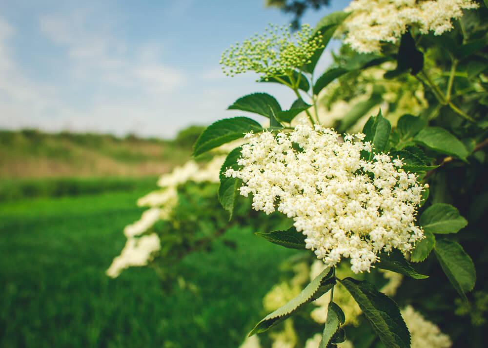 flores saúco