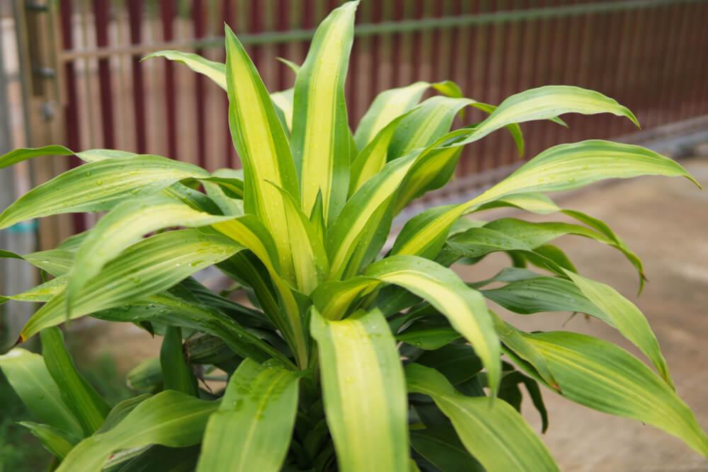 tronco brasil hojas