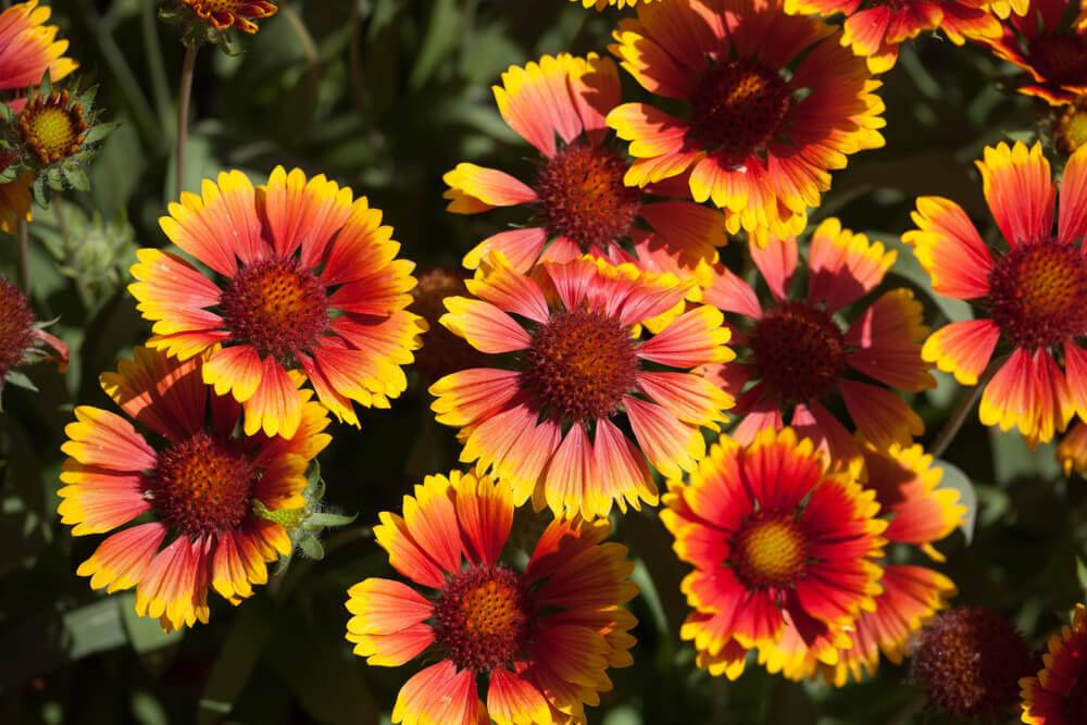 Las presentaciones continúan: la flor gallardía