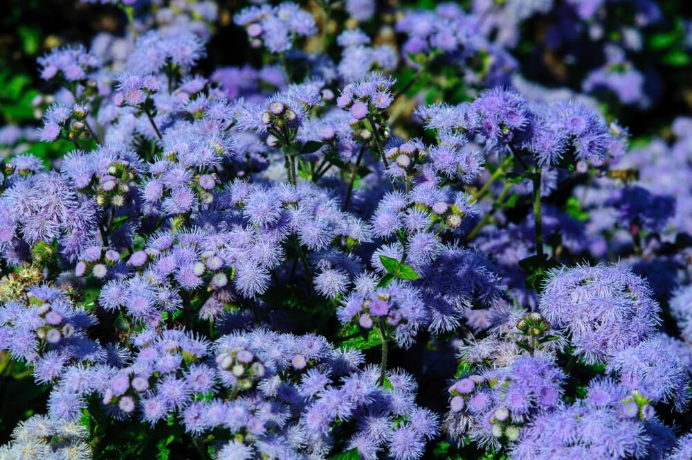 flores ageratum