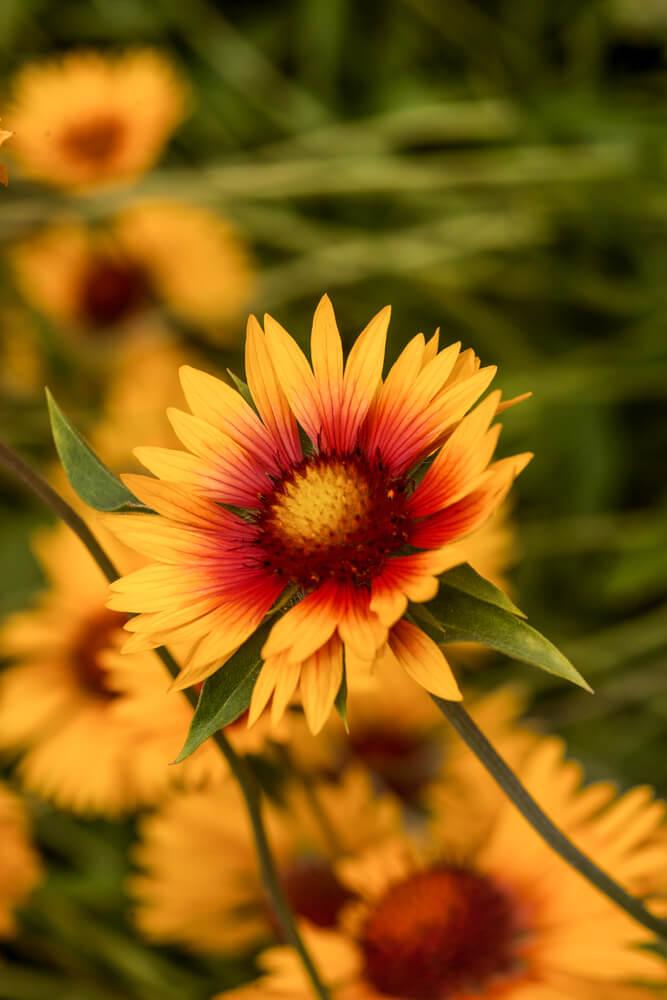 flor gallardía sola