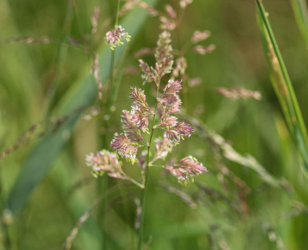 phalaris flor