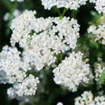 Milenrama, flores que huelen a verano