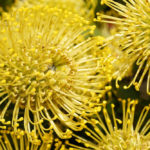 Si has visto una flor más bonita que la protea pagamos la ronda