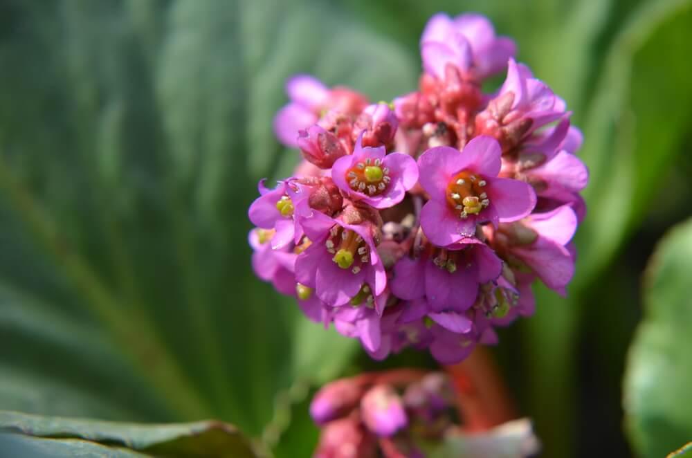 hortensias de invierno flores