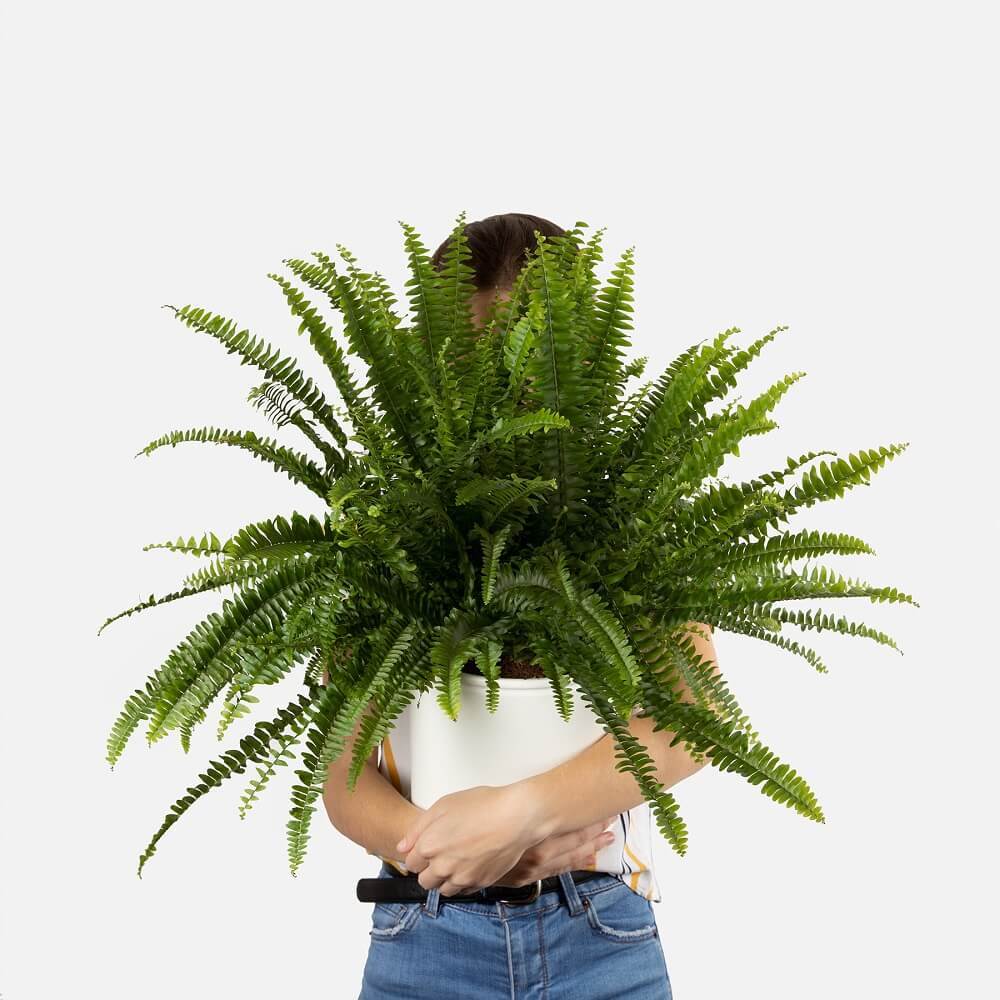 planta no tóxica mephrolepis