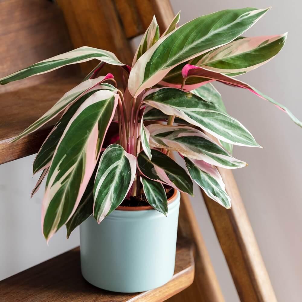 planta no tóxica calathea tricolor