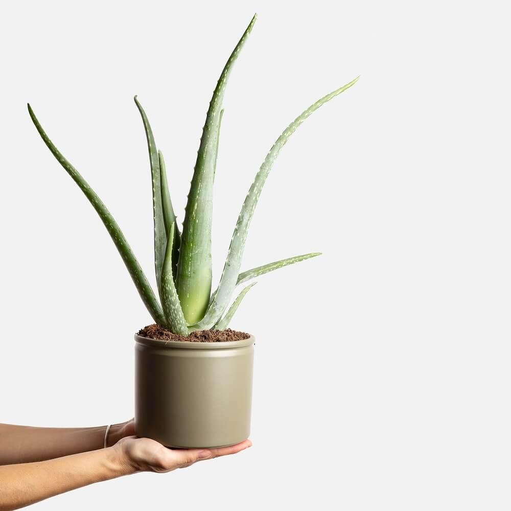Planta aloe vera