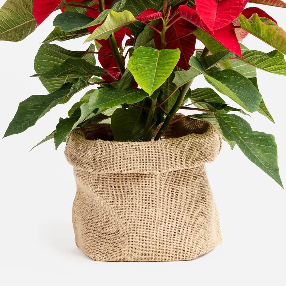 Planta de navidad con detalle