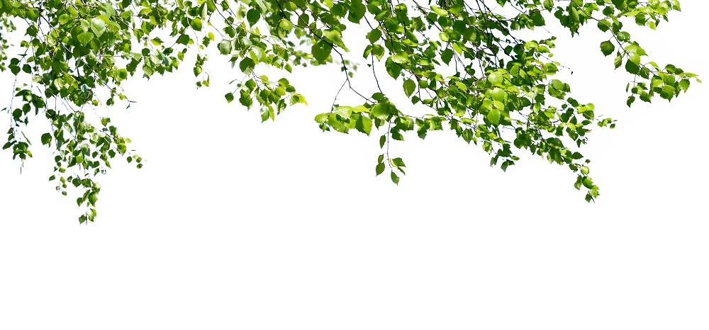 abedul hojas