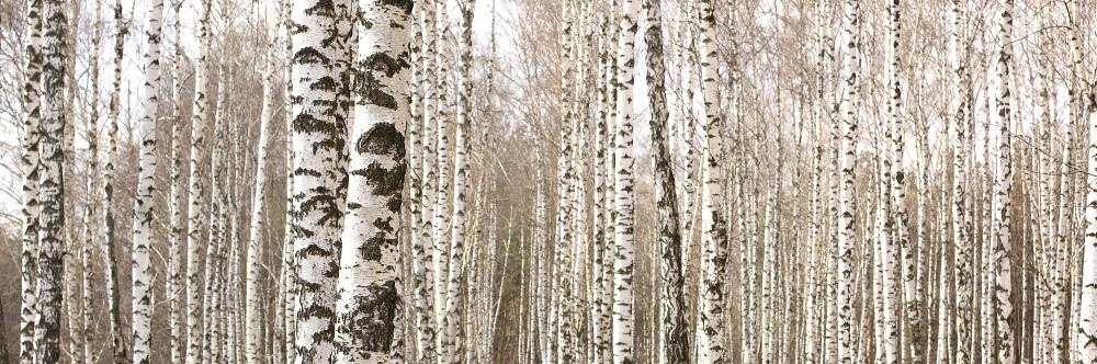 abedul bosque