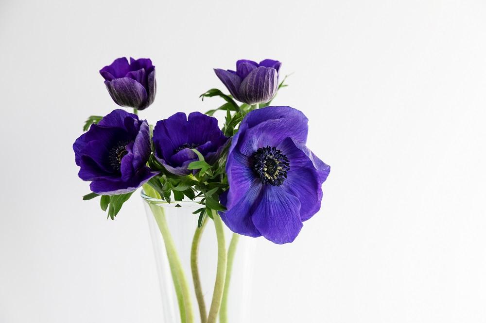 flores de invierno anémona