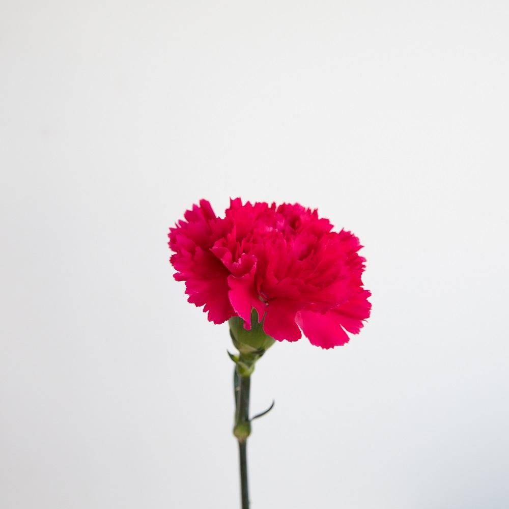 Flores de invierno clavel