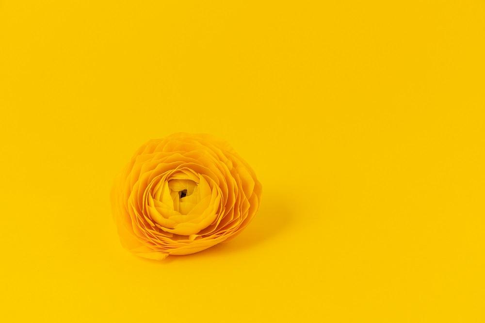 flores de invierno ranúnculo