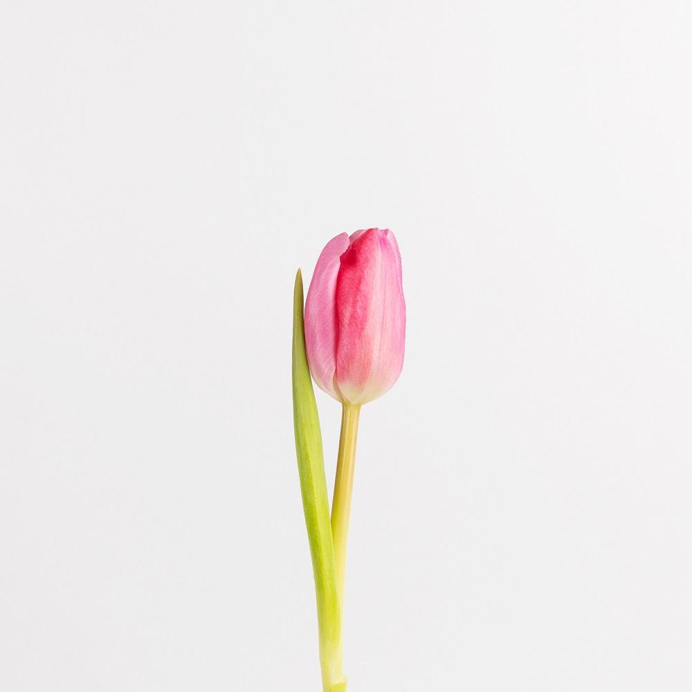Tulipanes, colores y su significado