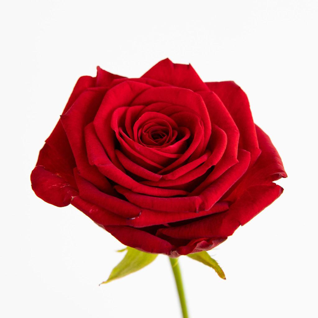 Flores de invierno rosa roja