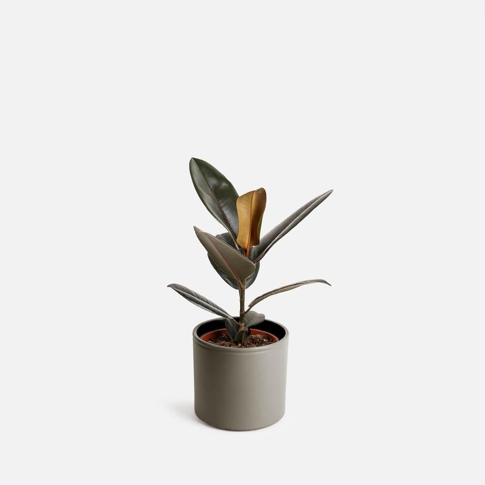 trasplantar plantas árbol de caucho