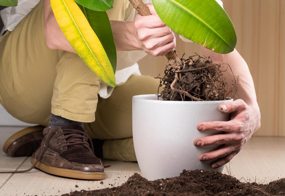 trasplantar plantas raíces