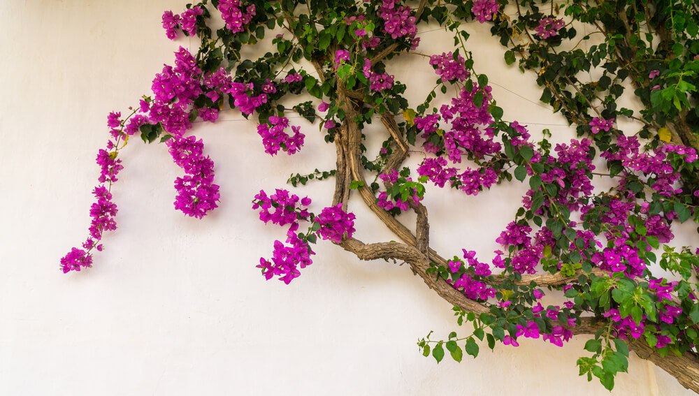 bugambilia flores