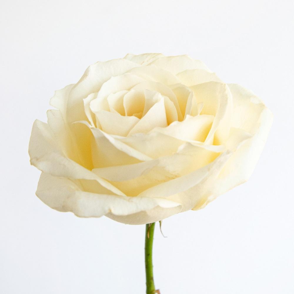 Historia y significado de las rosas blancas
