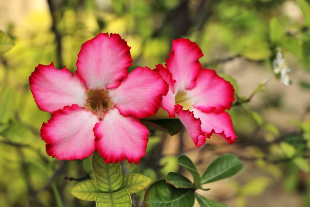 Rosa del desierto: descubre esta increíble flor