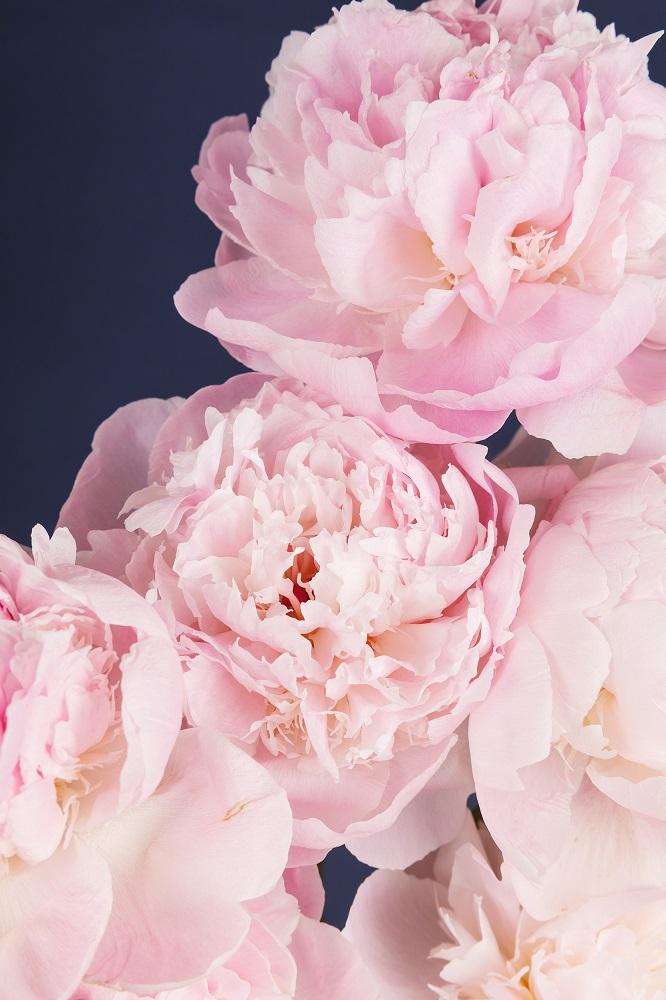 curiosidades sobre las peonías flores