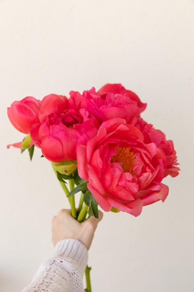 curiosidades sobre las peonías rosas