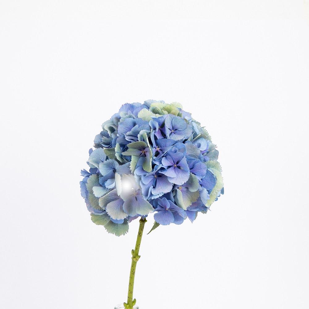 flores azules hortensias