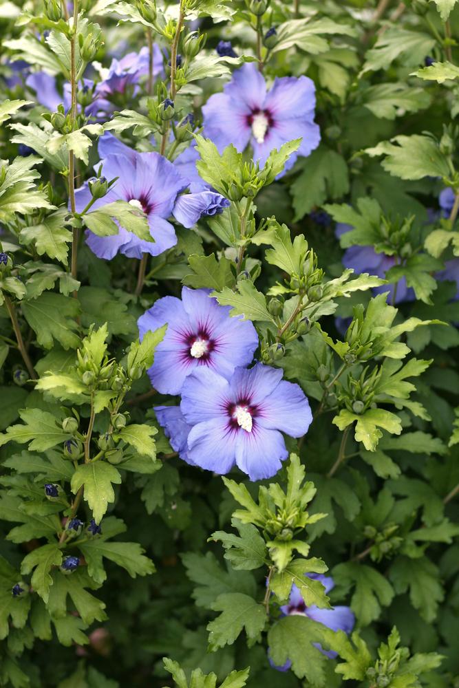 flores azules hibiscus