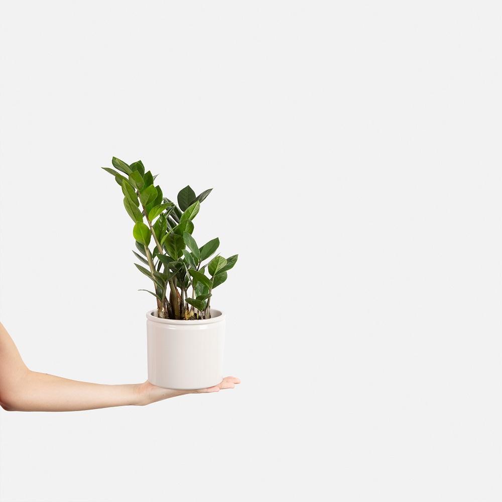 Plantas de poco riego - Fiona