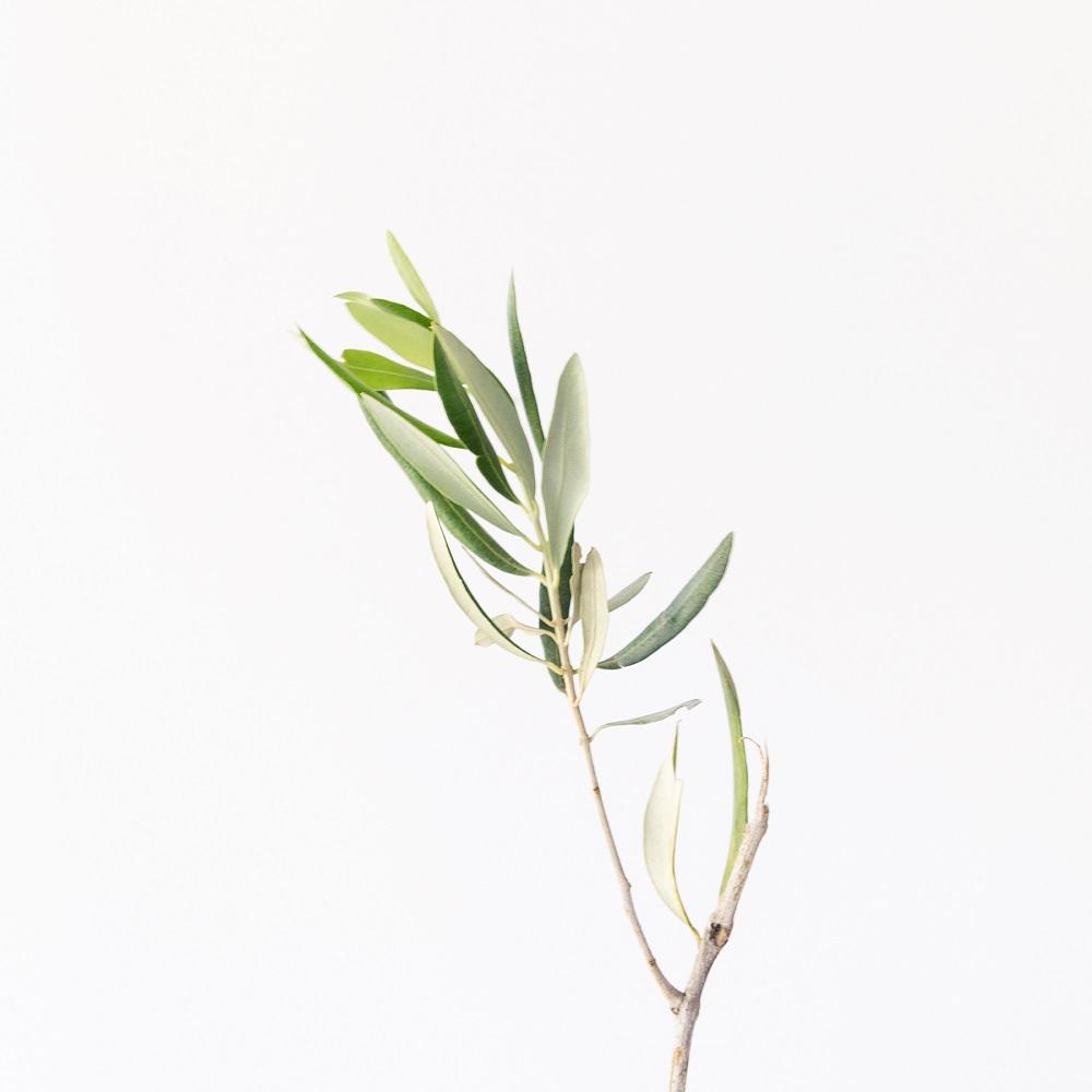 Olivo – El recién llegado