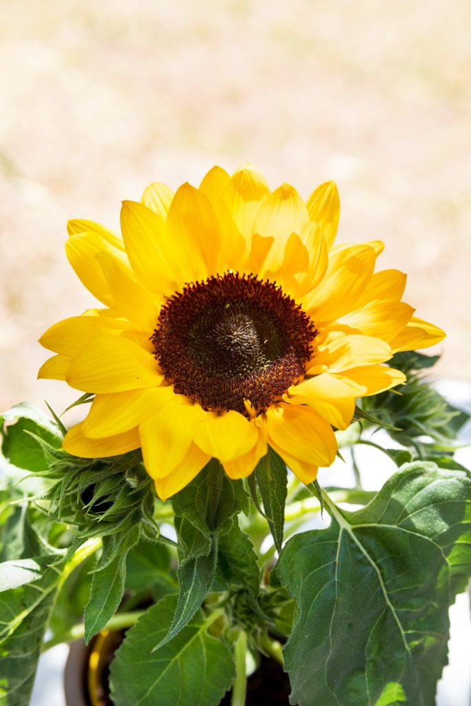 Deja que el sol entre directamente en tu casa con la Nueva Colección de Girasoles