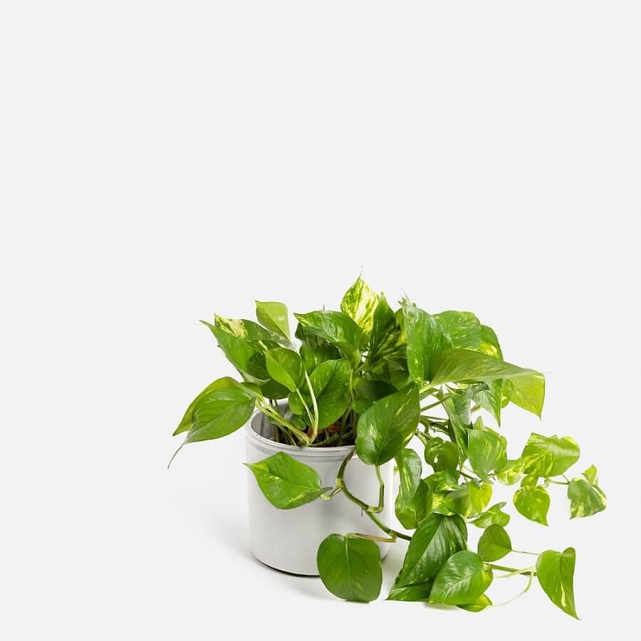 La planta Pothos y sus cuidados