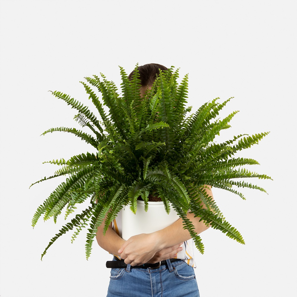 helecho macho planta