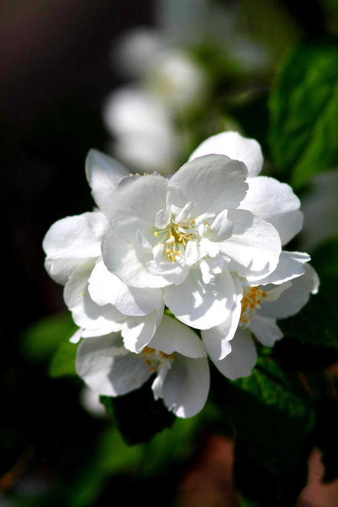 celinda flor