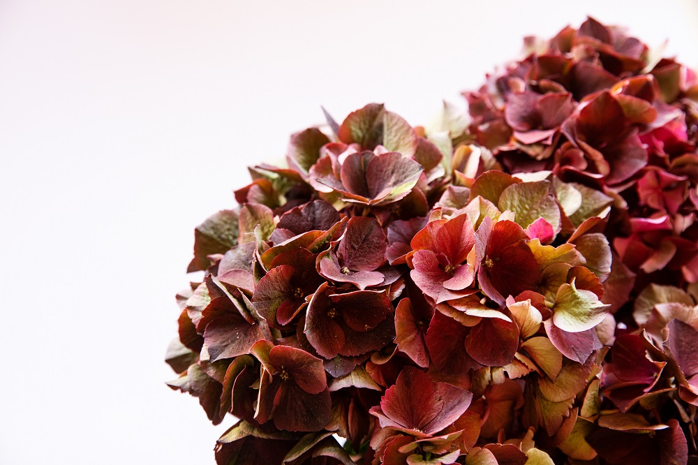 Lo que necesitas saber de las hortensias antique
