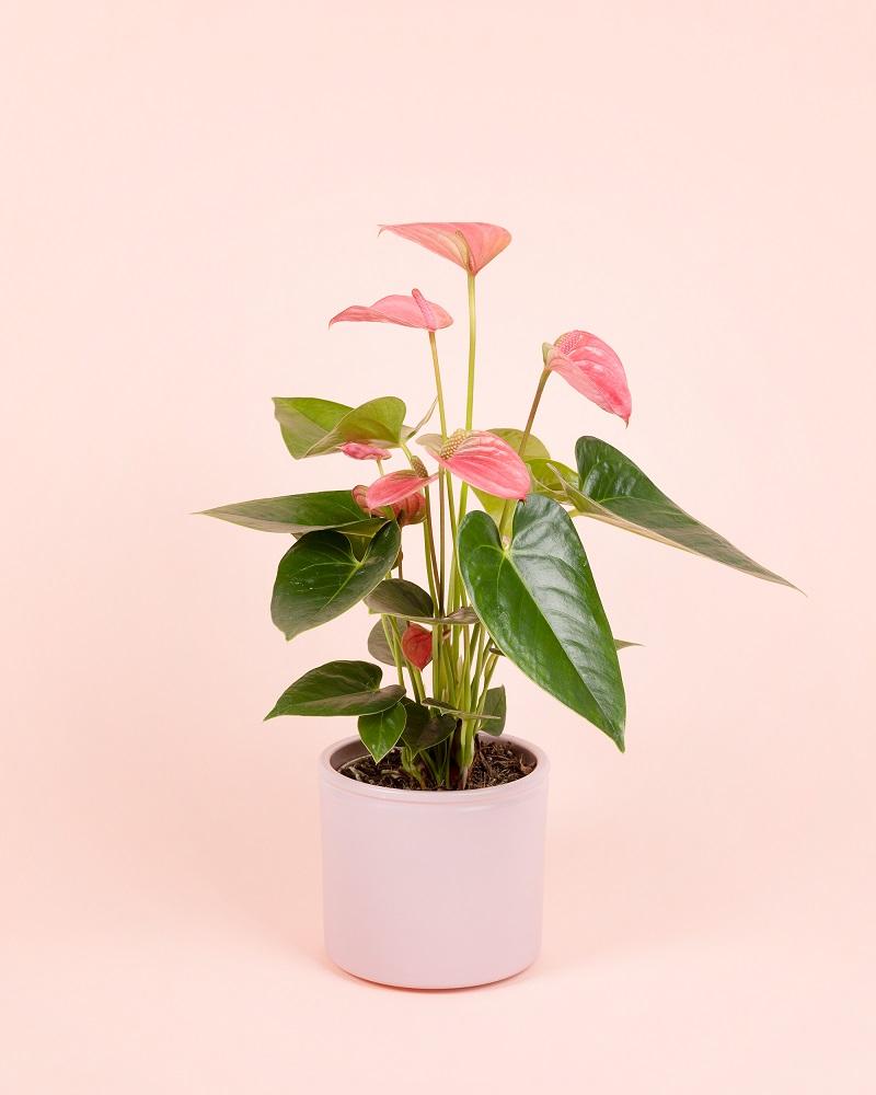 La planta que necesitas en casa, el Anthurium Andreanum