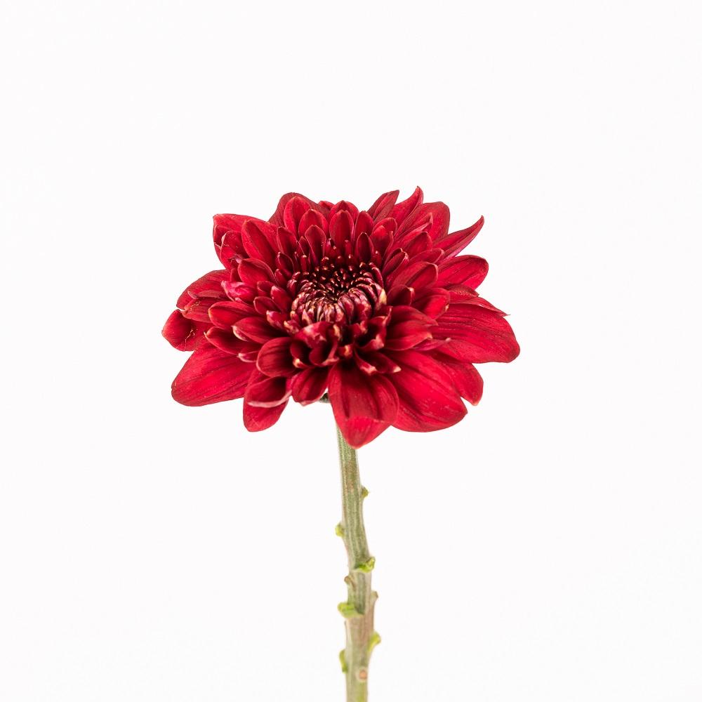 Curiosidades de los crisantemos que adorarás