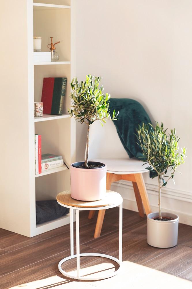 árbol olivo colvin