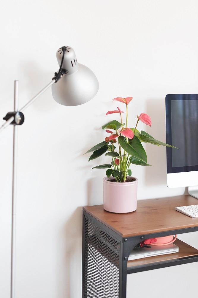 Anthurium Andreanum planta colvin