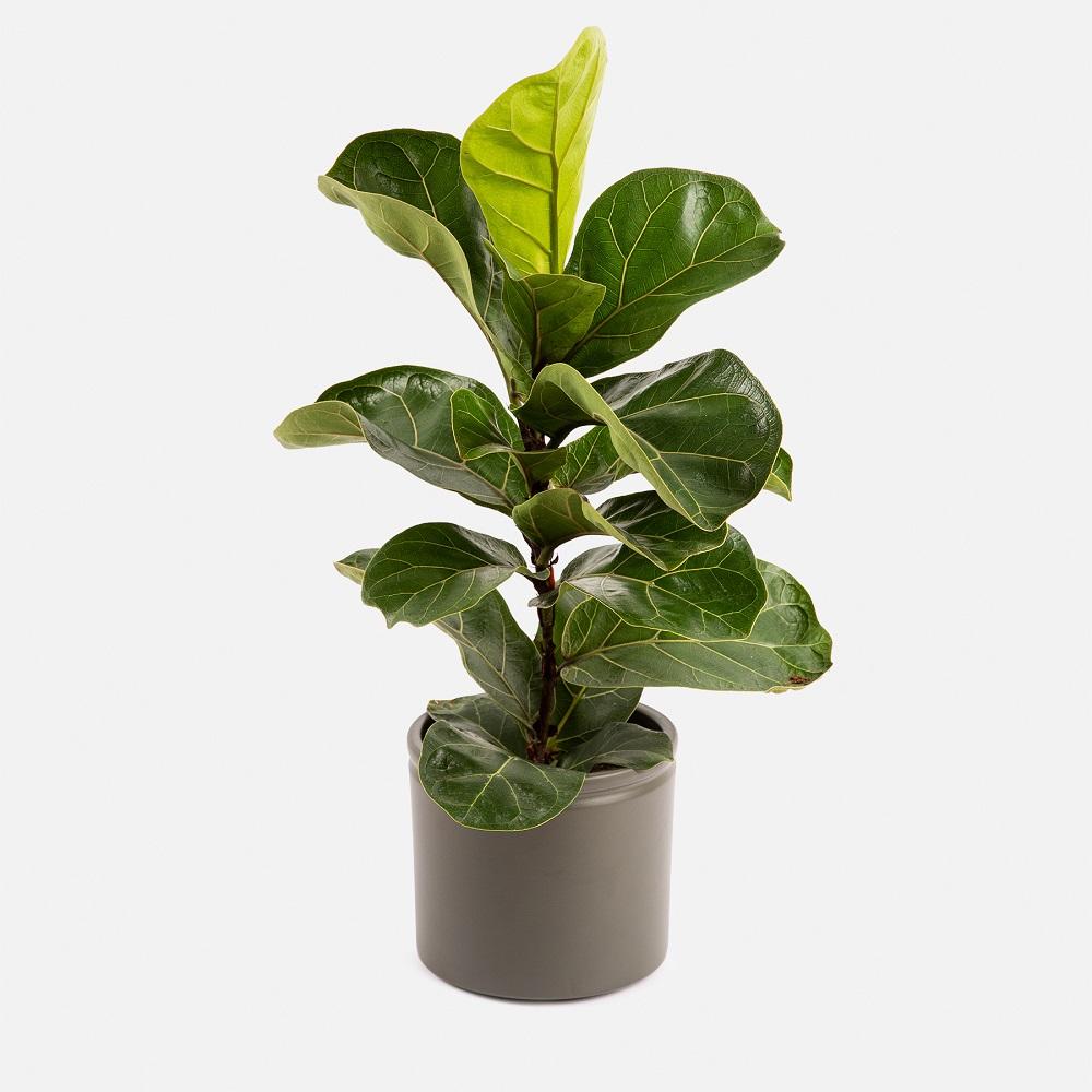 ficus lyrata planta