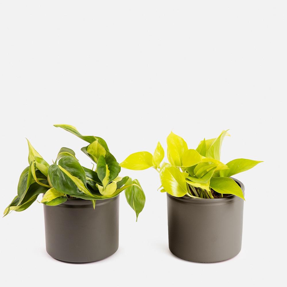 Neon Pothos y el Philodendron Brazil duo